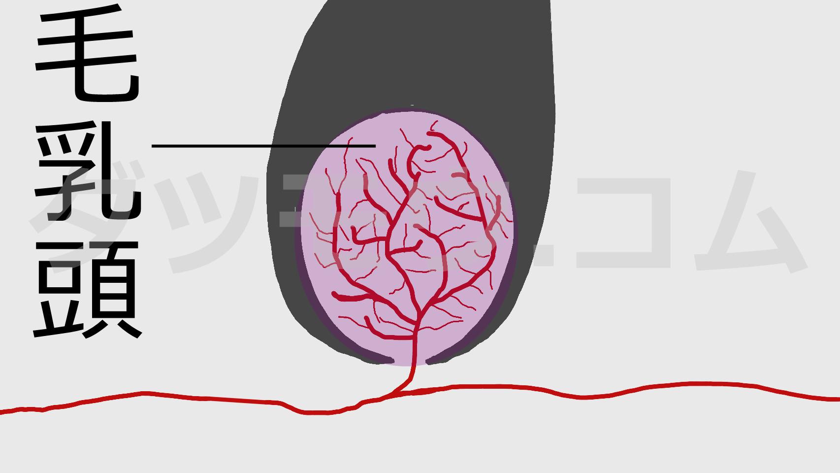 毛乳頭の拡大図