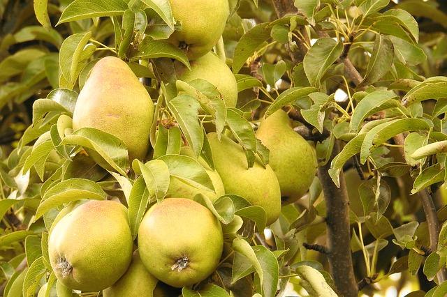 木に実っている沢山の梨