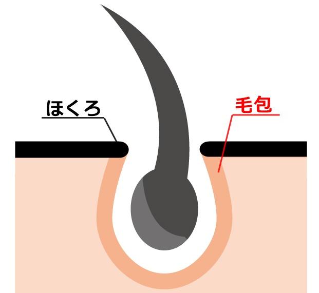 毛包の解説図
