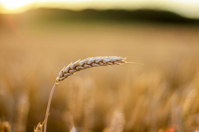 一本だけの大麦